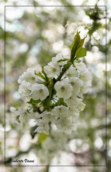 Blossom. by Umberto_V