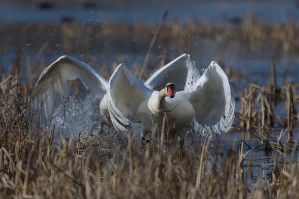 Mute swan fight by EllerySneed
