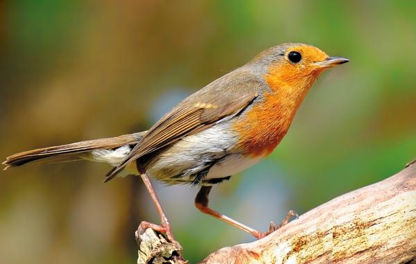 """Springtime Robin""."