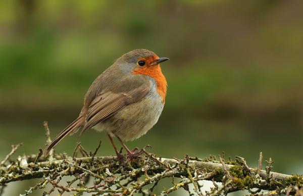 Macro Robin by canoncarol