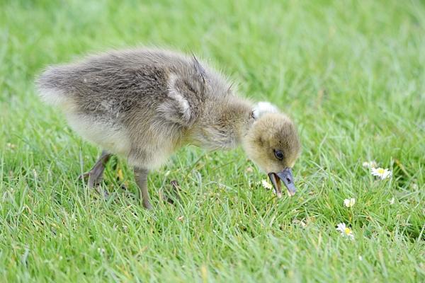 Greylag geese chic by Glenn1487