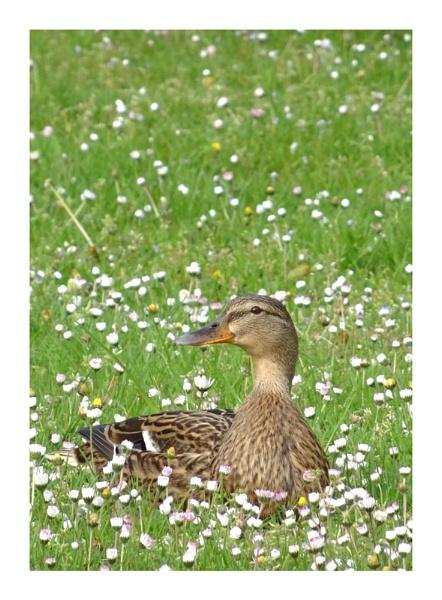 Duck by cattyal