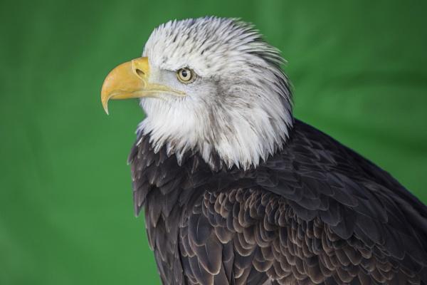 Eagle by sandwedge