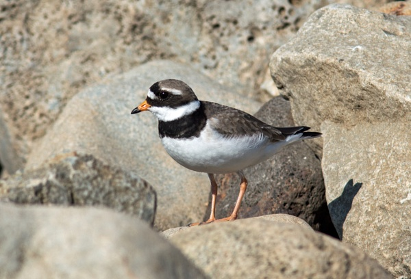 Ringed plover by oldgreyheron