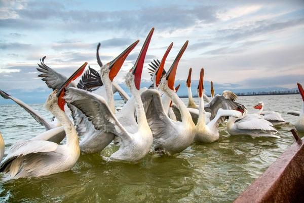 Dalmatian Pelicans by davemck