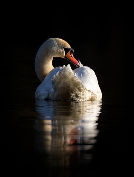 Swan by SurreyHillsMan
