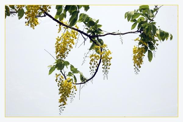 Cassia Fistula by prabhusinha
