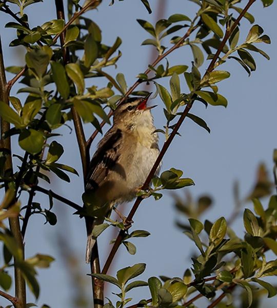 Sedge Warbler by shaver