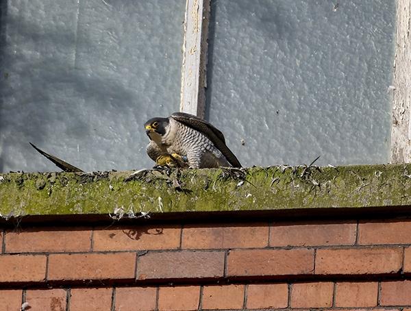 Peregrine Falcon with prey by shaver