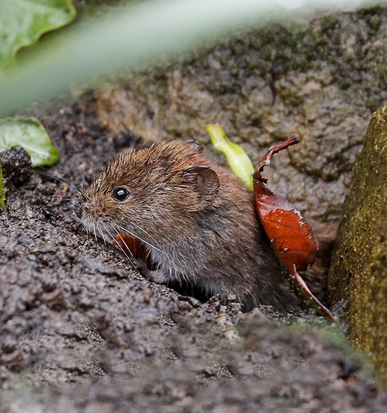 Bank Vole by shaver