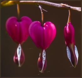 Lamprocapnos spectabilis (bleeding heart or Asian bleeding-heart