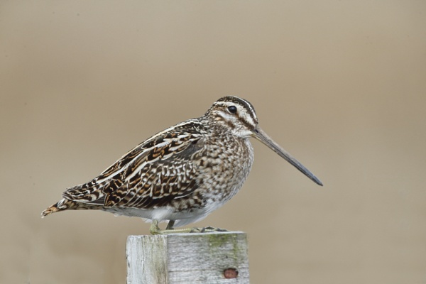 Common Snipe by HenB