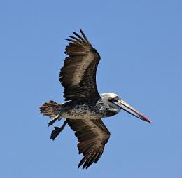 South American Pelican