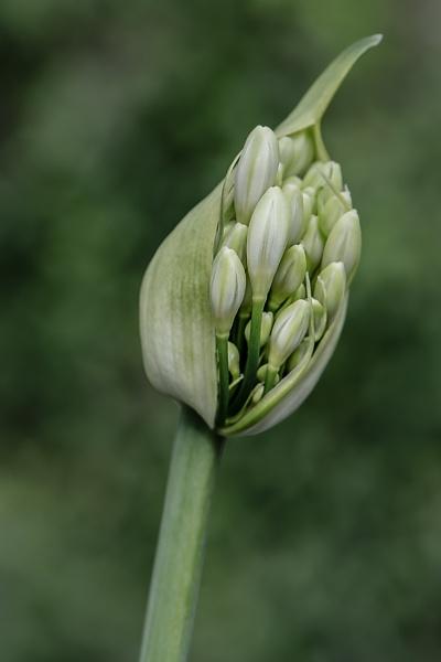 Agapanthus Flower Head by Rorymac