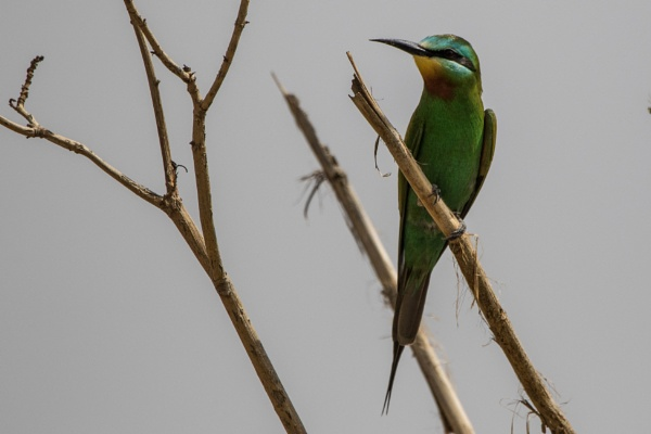 Blue Cheeked Bee-Eater by WorldInFocus