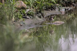 Green Sandpiper Reflection