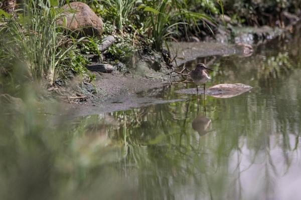 Green Sandpiper Reflection by WorldInFocus