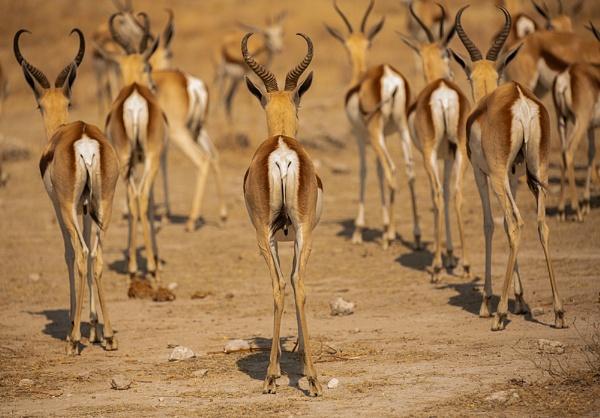 Springbok by rontear