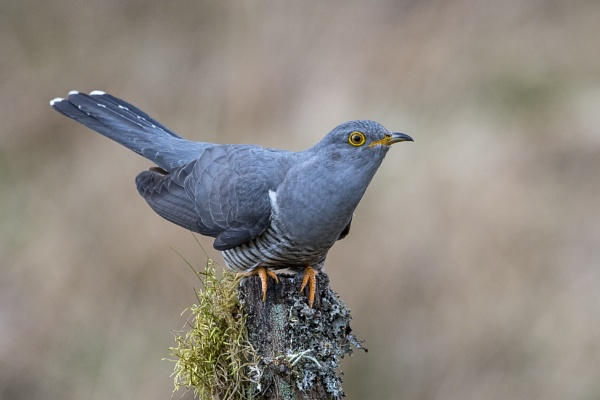 Cuckoo by richmowil