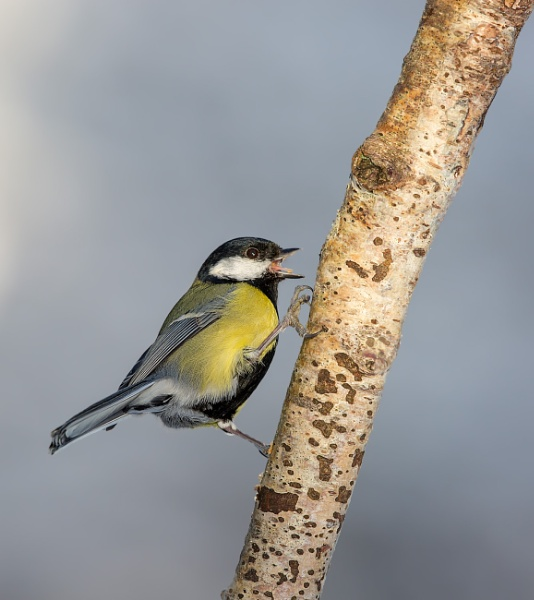 Great Tit (Parus major) by Ray_Seagrove