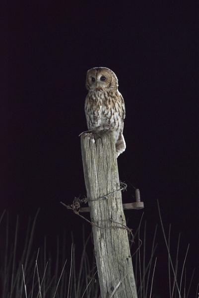 Tawney Owl by Gavin_Duxbury
