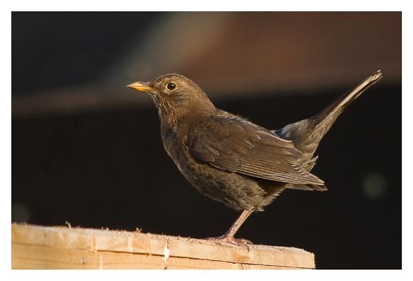 Alert Blackbird by alant2