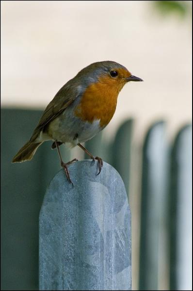 Robin on school fence. by alant2