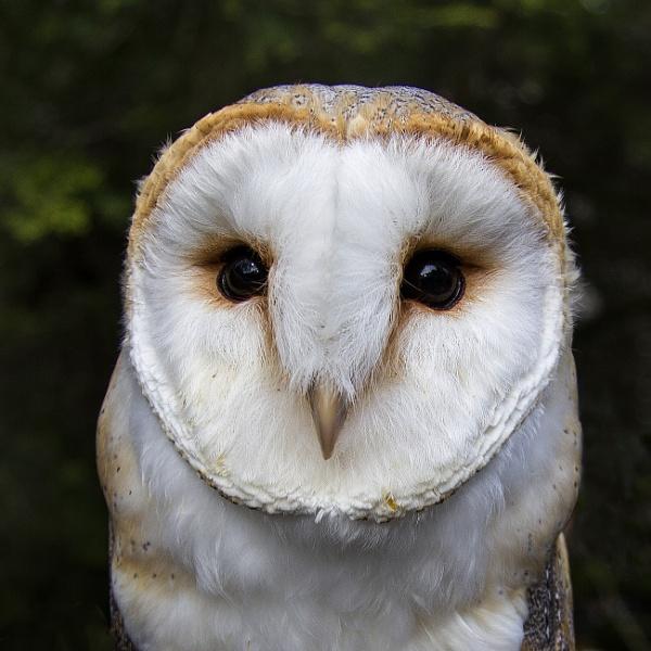 Olivia - Barn Owl by Irishkate