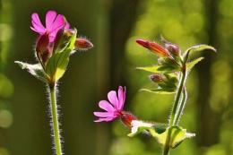Musk Mallow  wild flowers.