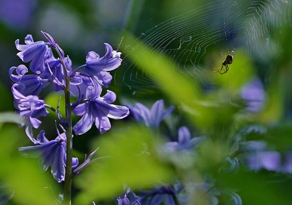 Bluebells wild flowers by georgiepoolie