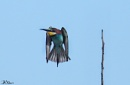 Bee Eater, Rhodes, just now. by PatriciaWilson