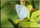 HOLLY BLUE BUTTERFLY2 by Hoverflylover