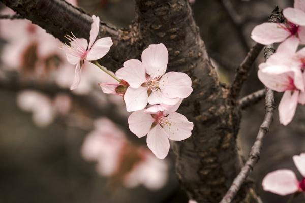 Cherry Blossom 2018 by manicam