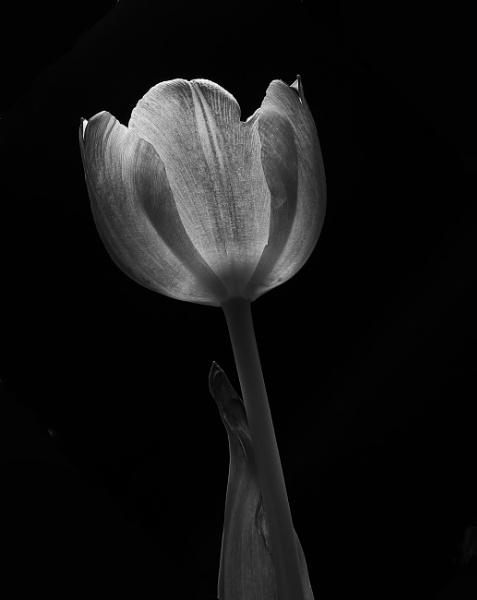 Tulip: mono by JawDborn