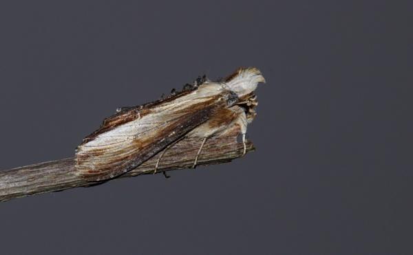Mullein Moth by ali63