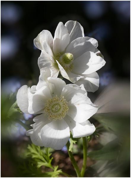 Anemones by capto