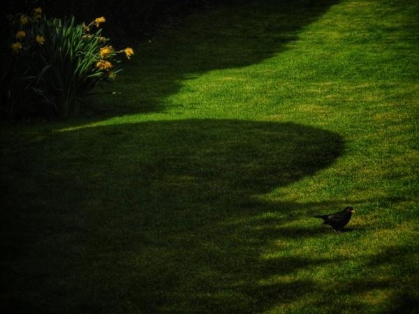 Daffs Blackbird & Shadows by exposure