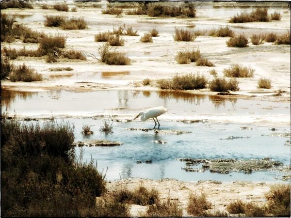 Little  Egret by exposure