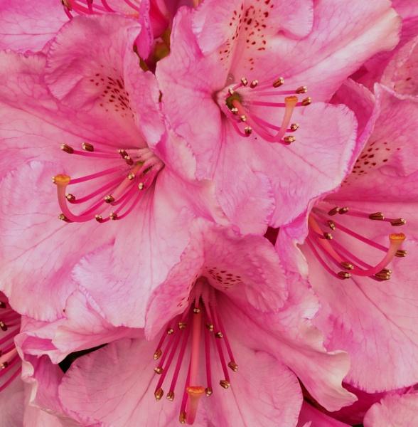 Pink Rhododendron (2) by LinBrennan