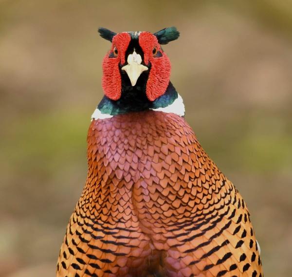 Pheasant by AlexAppleby