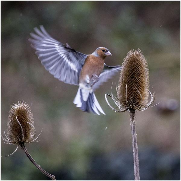Same Bird Same Teasel. by danbrann