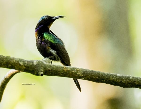 Copper Throated Sunbird by Pari56