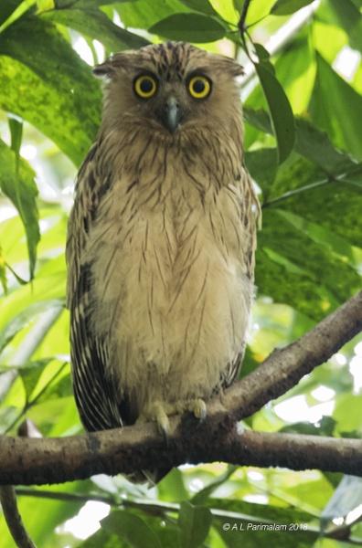 Juvenile Buffy Fish Owl by Pari56