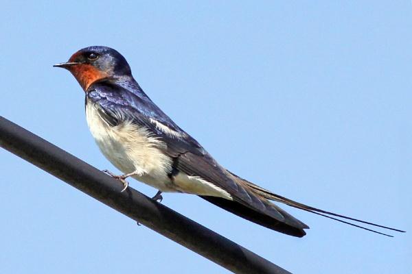 Swallow-Hirundo rustica by bobpaige1