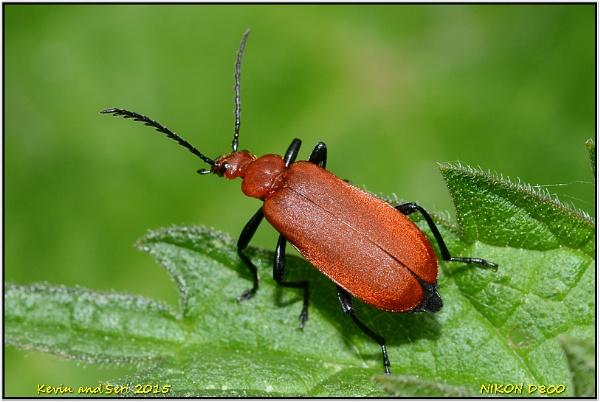Cardinal Beetle by KevinandSeri