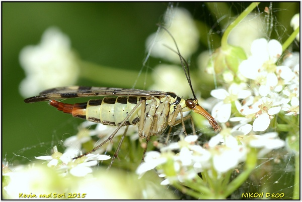 Scorpion Fly (f) full of eggs.