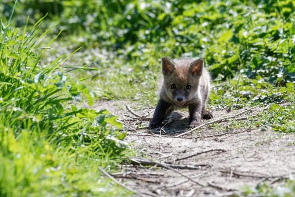 Fox Cub by Wanilson