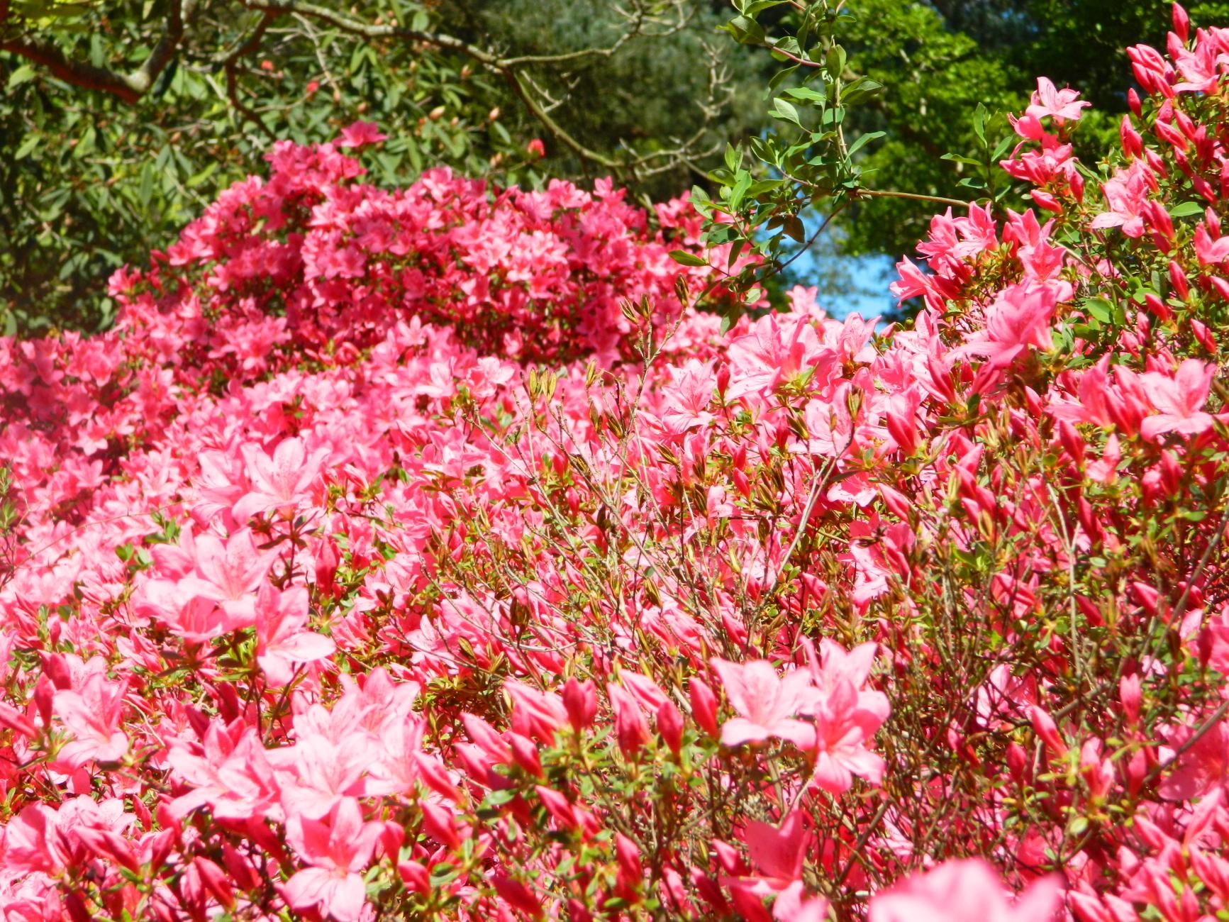 Pink Flowers Everywhere - Windsor Great Park