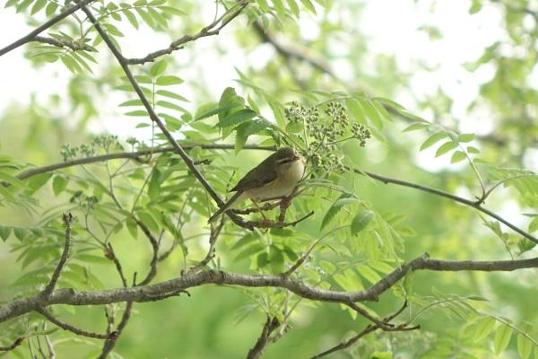 Bird in a Sorbus tree