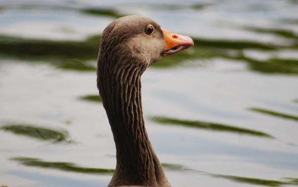 Grey goose by KrazyKA